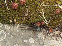 Pardosa proxima.jpg