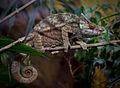 Parson's Chameleon.jpg
