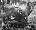 Partizan cow milking.jpg