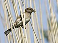 Passer domesticus -United Kingdom -female-8.jpg