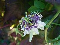Passiflora morifolia flower