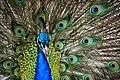 Peacock. (8315401671).jpg