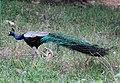 Peacock from Parambikulam T R (3).jpg