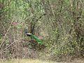 Peacock in its habitat.jpg