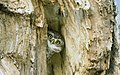 Peeking Owlet (57683142).jpeg