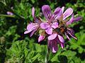 Pelargonium capitatum 9447s.jpg