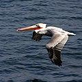 Pelican (4167606431).jpg
