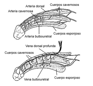 Arteries and veins of the penis (Spanish)