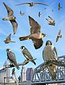 Peregrine From The Crossley ID Guide Eastern Birds.jpg