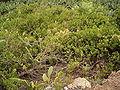 Periploca laevigata (Los Sauces) 01 ies.jpg
