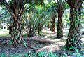 Perkebunan kelapa sawit milik rakyat (26).JPG
