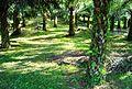 Perkebunan kelapa sawit milik rakyat (77).JPG