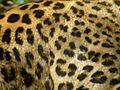Persian Leopard Fur 02.JPG
