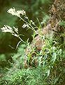 Persicaria alpina.jpg