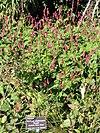 Persicaria amplexicaulis 'Firetail' - J. C. Raulston Arboretum - DSC06210