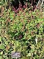 Persicaria amplexicaulis 'Firetail' - J. C. Raulston Arboretum - DSC06210.JPG