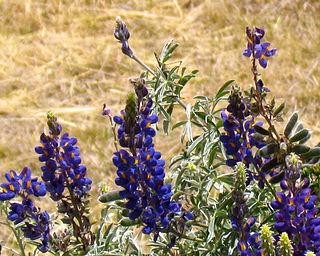 <i>Lupinus mutabilis</i> Species of plant