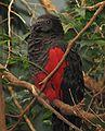 Pesquets Parrot.jpg