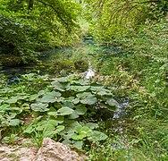 Petasites Hybridus Parco fluviale alta Val d'Elsa 16.jpg