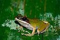 Peters' Malaysian Frog (Hylarana raniceps) (14192789945).jpg