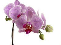 Phalaenopsis (01).jpg