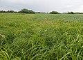 Phalaris arundinacea kz01.jpg