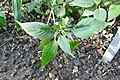 Phaulopsis imbricata-Jardin botanique de Berlin (1).jpg