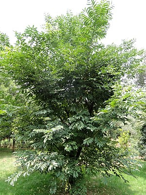 Phellodendron chinense - Phellodendron chinense var. yunnanensis