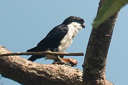 Philippine Falconet (cropped).jpg