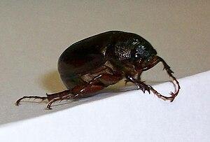 Phyllophaga - Common Phyllophaga found in Michigan