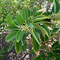 Phytolacca dioica kz1.JPG
