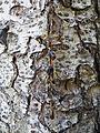 Picea orientalis 15.JPG