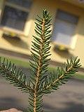 Picea orientalis zampach3.JPG
