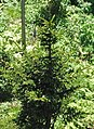 Picea rubens (red spruce) (Clingmans Dome, Great Smoky Mountains, North Carolina, USA) 1 (36870107401).jpg