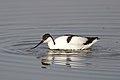 Pied Avocet, Recurvirostra avosetta at Marievale Nature Reserve, Gauteng, South Africa (30695640147).jpg