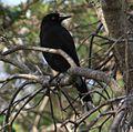 Pied Currawong (I think), Byron Bay NSW - Australia, April 22 2014. (14711113983).jpg