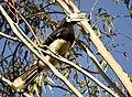 Pied Hornbill @ Ranikota.jpg