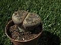 Piedras vivas - Lithops (19750089311).jpg