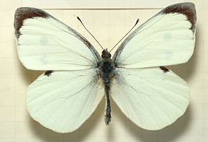 The Stones in the Park - A male specimen of Pieris brassicae, the large cabbage white