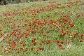 PikiWiki Israel 29273 Plants of Israel.JPG
