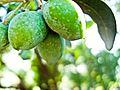 PikiWiki Israel 29451 Green Olives.jpg