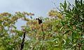 Pin-tailed Whydah (Vidua macroura) (5984767430).jpg