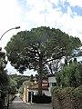 Pin parasol au Cap-Ferrat.jpg