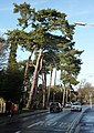Pine trees along Church Road - geograph.org.uk - 1609418.jpg
