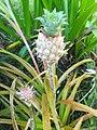 Pineapple Ornamental.jpg
