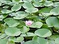 Pink lotus.jpg