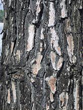 Pinus Roxburghii Wikipedia