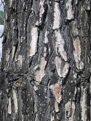 Pinus roxburghii - Trunk