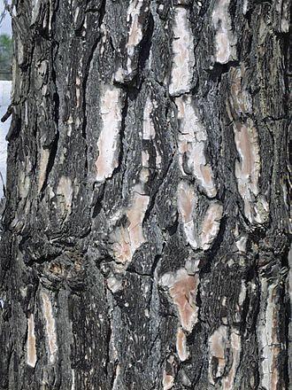 Pinus roxburghii - Bark texture