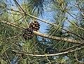 Pinus-pinea-conos.jpg